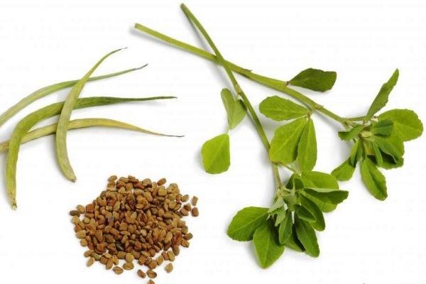 Пажитник: семена и трава