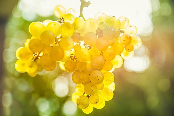 Ветка винограда в саду